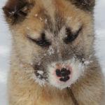 Hond Groenland