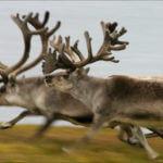 Rendieren Groenland