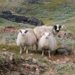 Schapen Groenland
